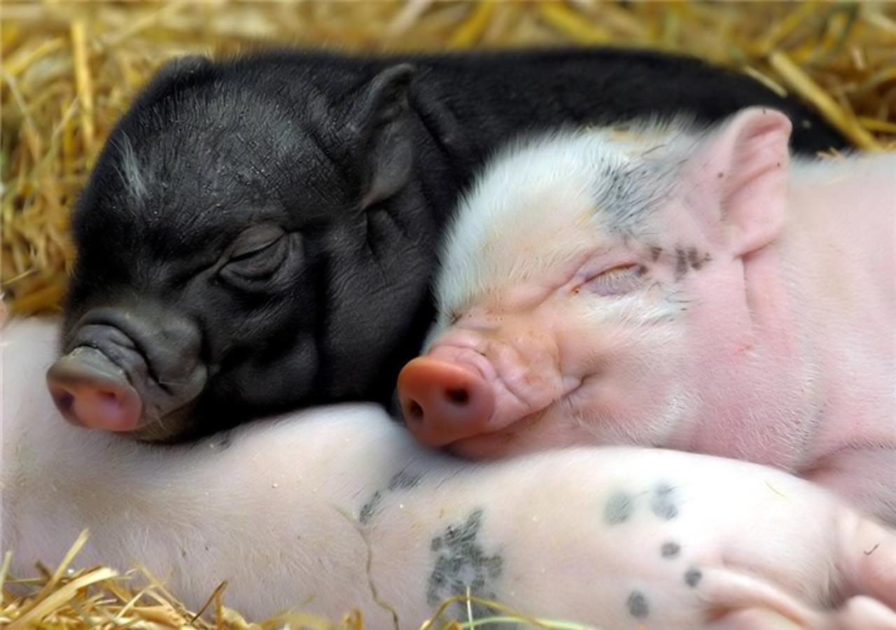 Images Of Baby Pig Animal Wallpaper