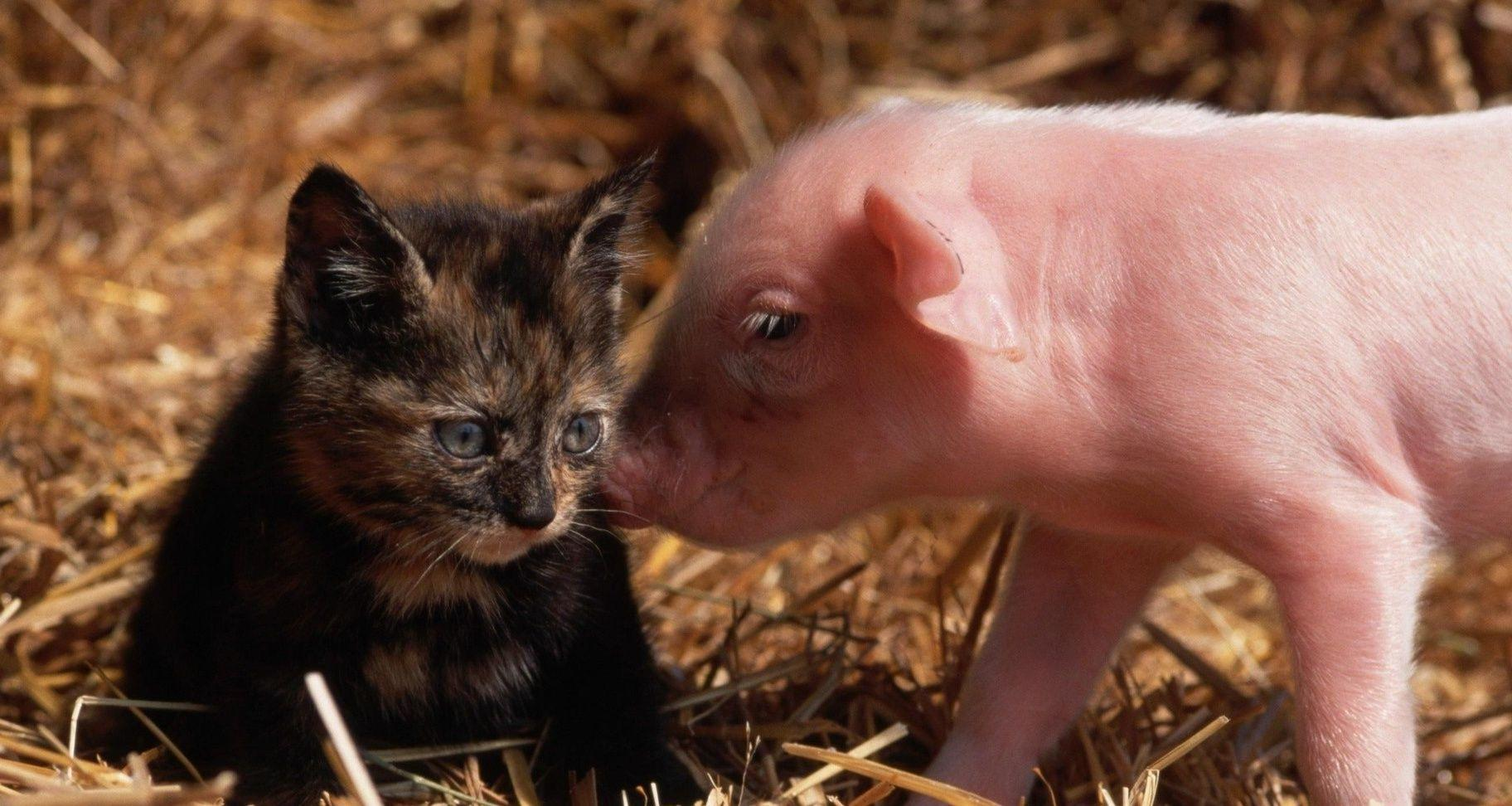 Baby Pigs Wallpapers - Wallpaper Cave