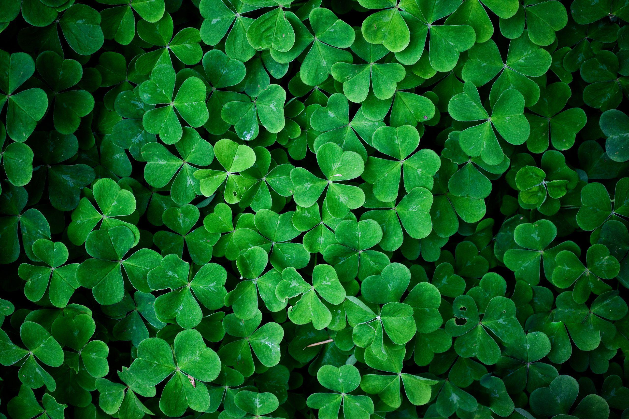 Irish Clovers Wallpaper - wallpaper.