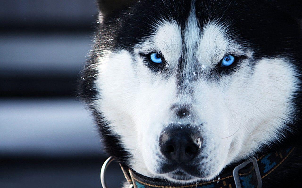 Siberian Huskies Wallpapers - Wallpaper
