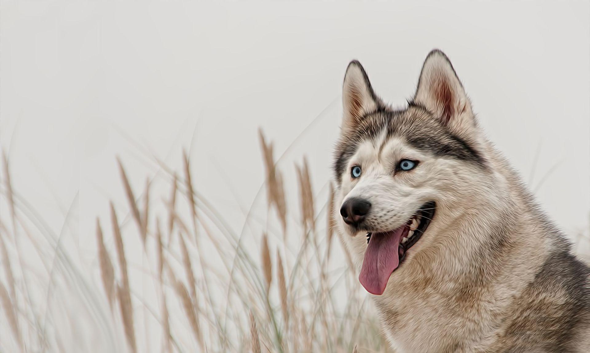 siberian huskies wallpapers wallpaper