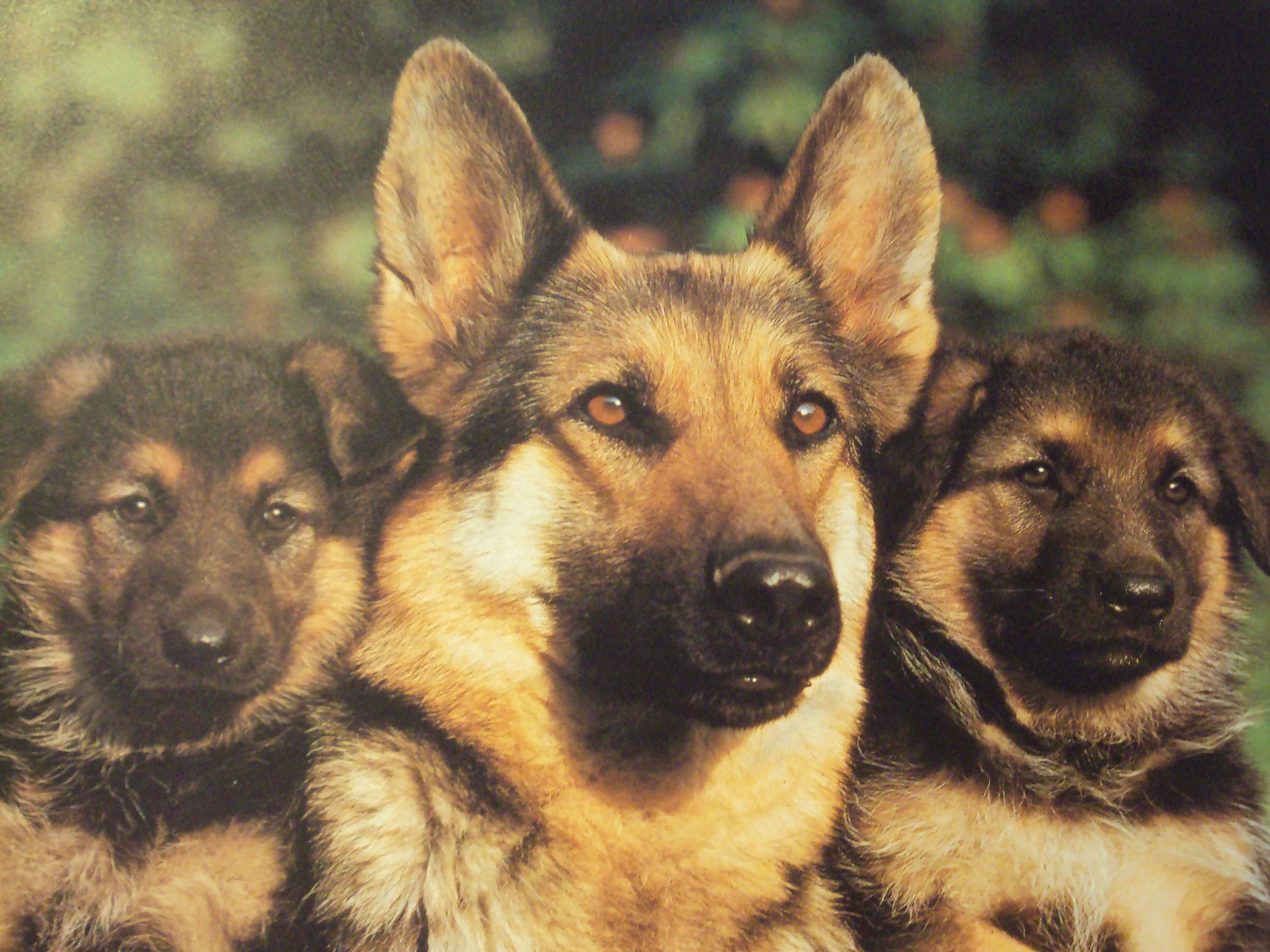 Dog German Shepherd Wallpapers - Wallpaper Cave