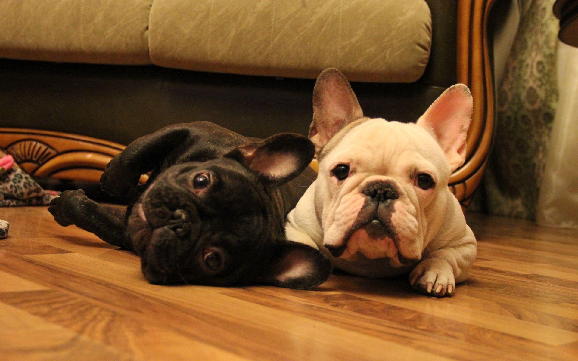 French Bulldog Wallpap...