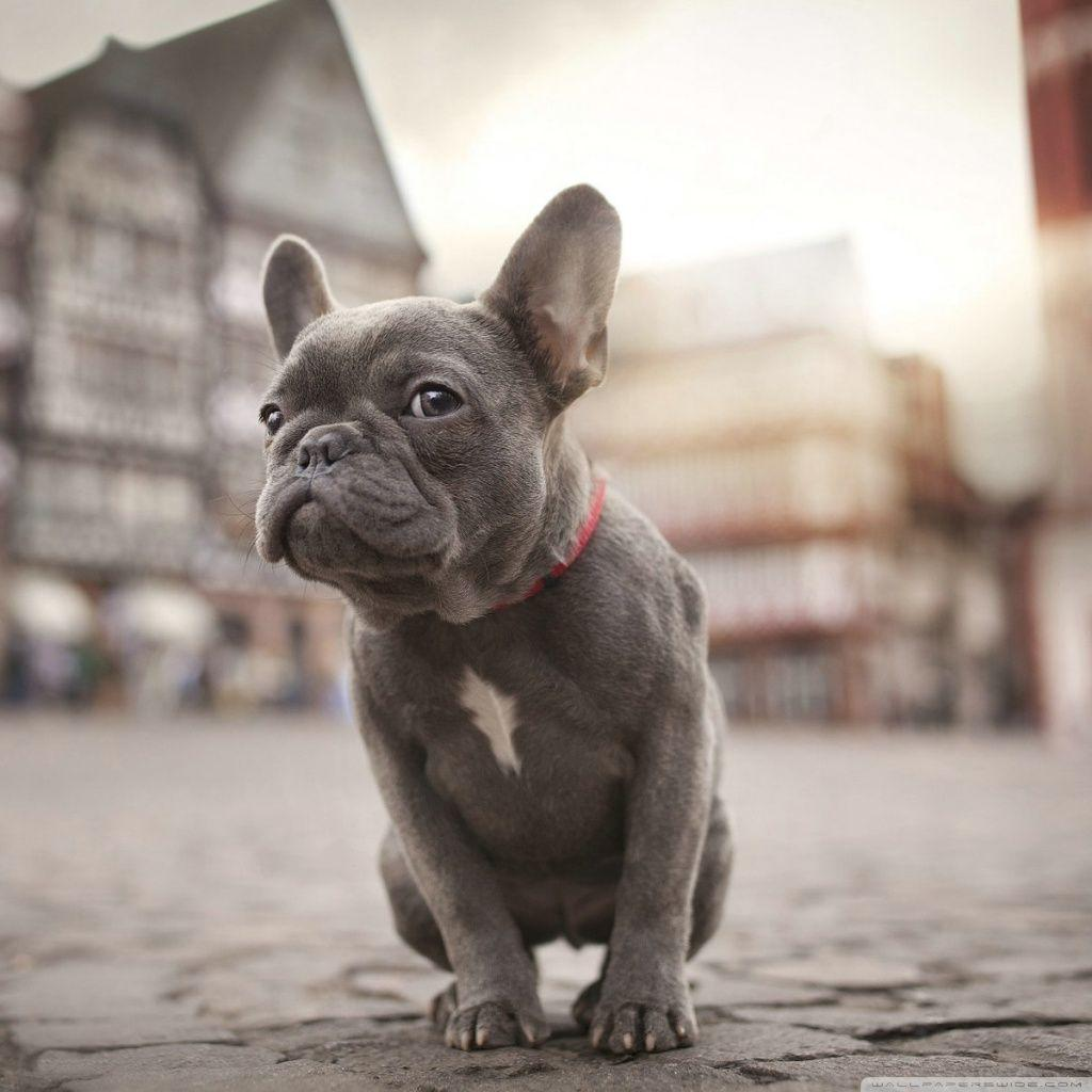 French Bulldog Wallpapers Wallpaper Cave