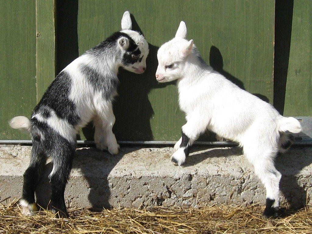 goats wallpapers wallpaper cave