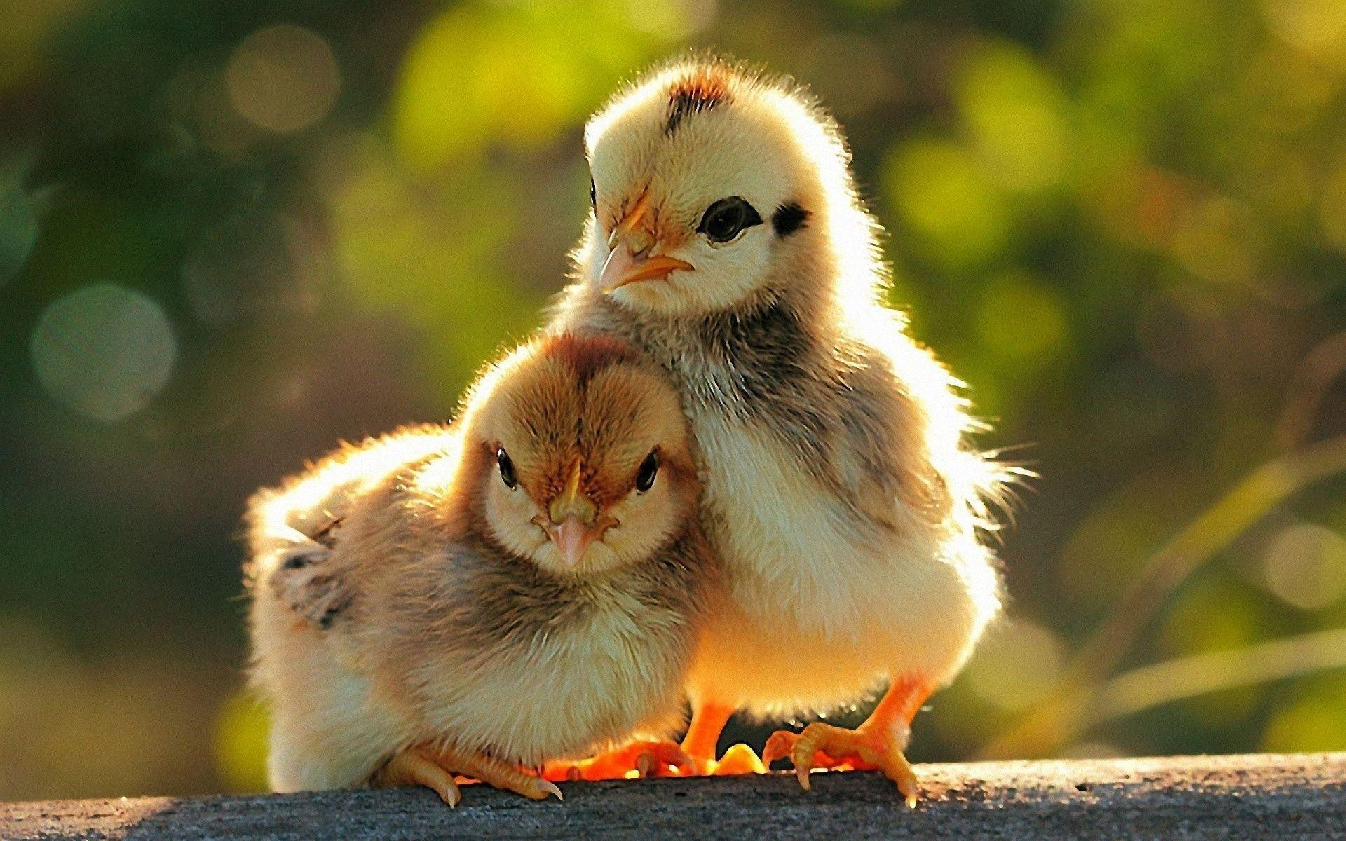 Birds Chicken HD Wallpapers Images And Photos Gallery Free Download