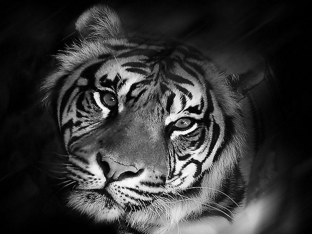 Black Jaguar White Tiger  911 Animal Abuse