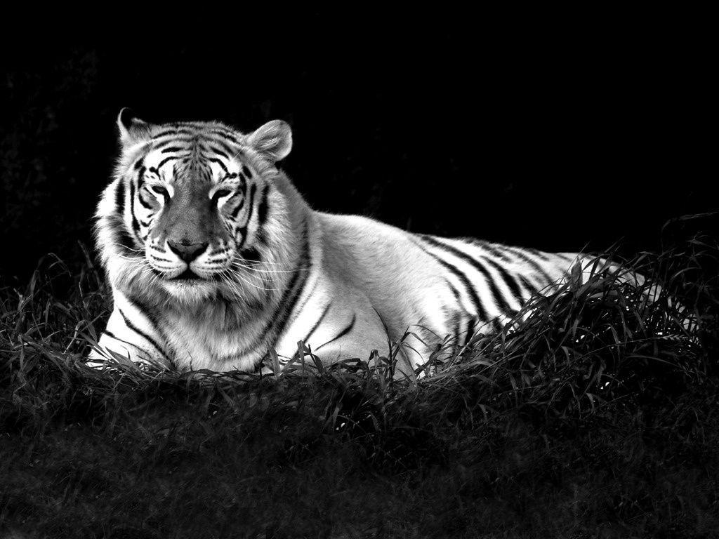 Black Tiger Wallpapers