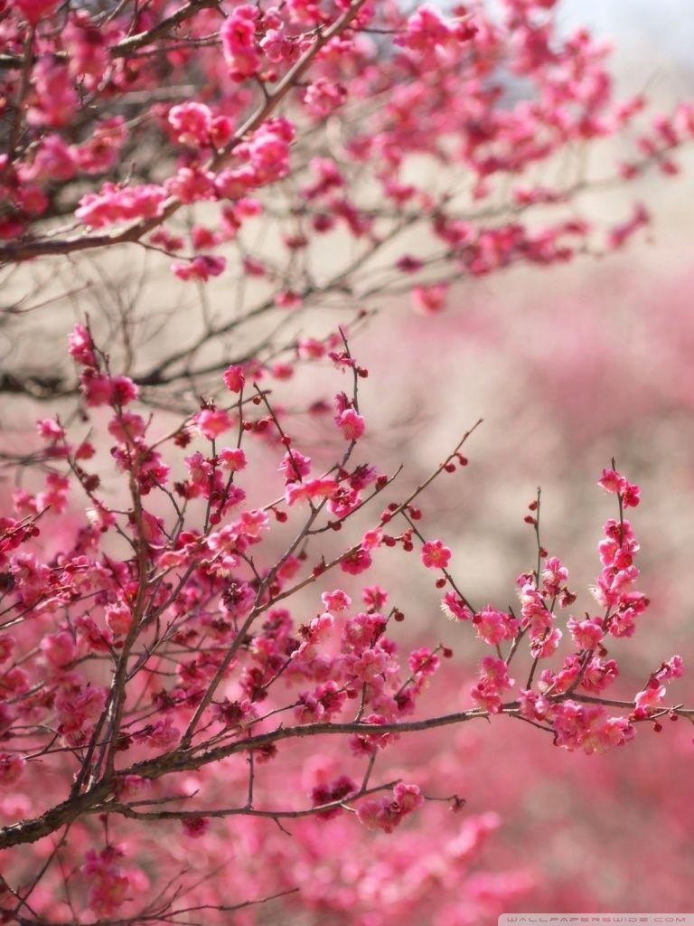 Sakura Wallpapers For Phone Wallpaper Cave