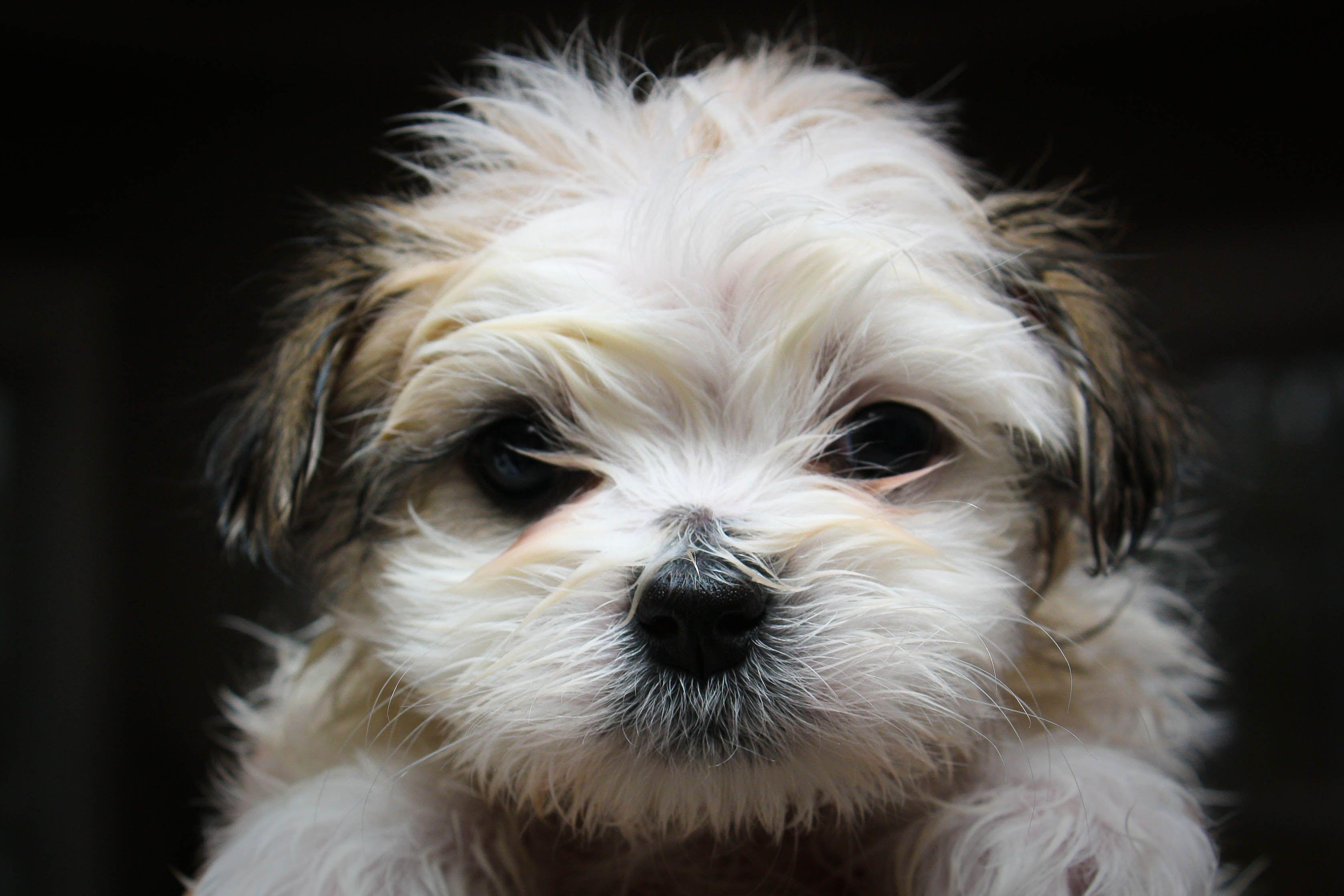 Shih Tzu Wallpapers Wallpaper Cave