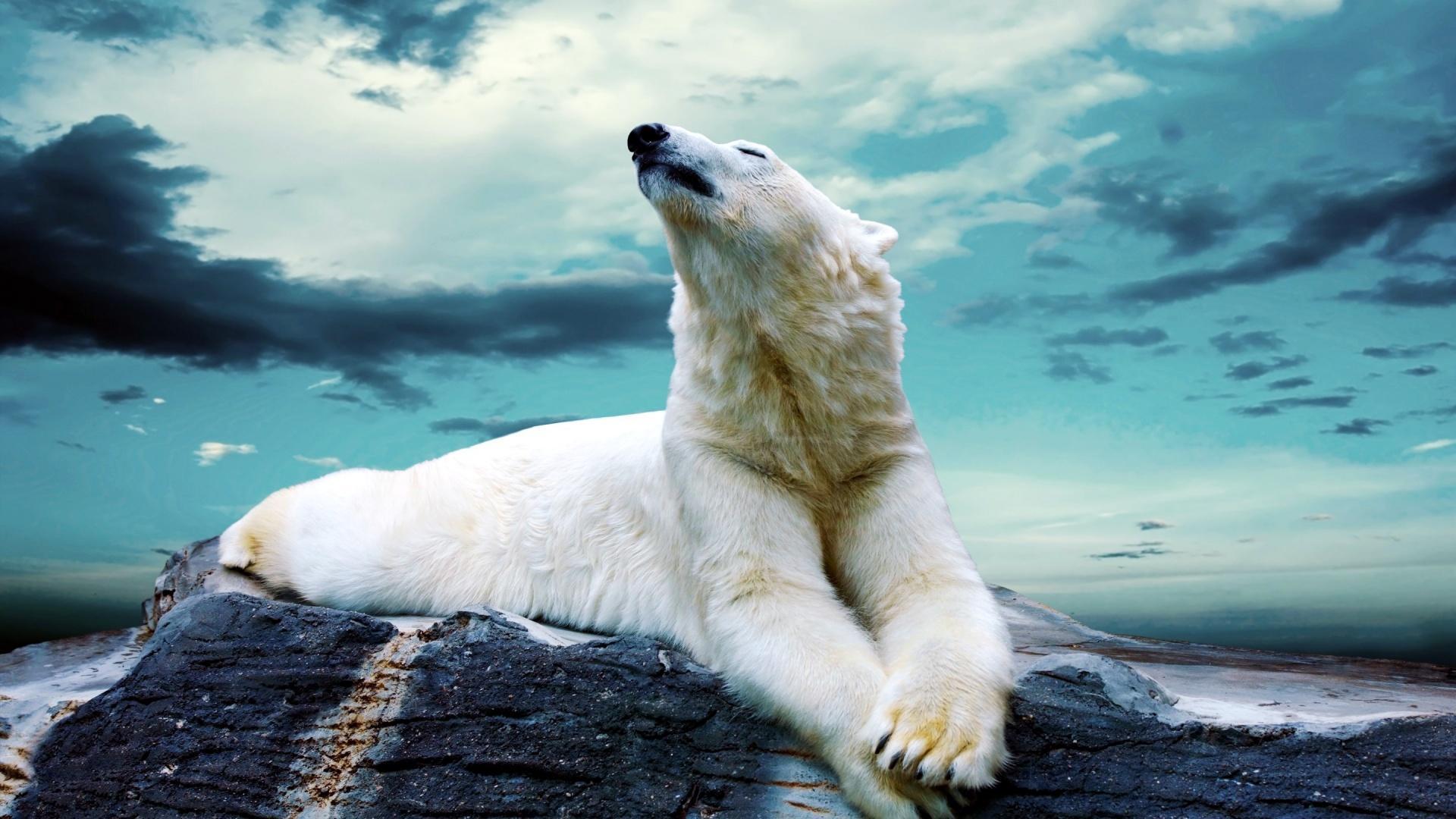 Polar Bears Wallpapers