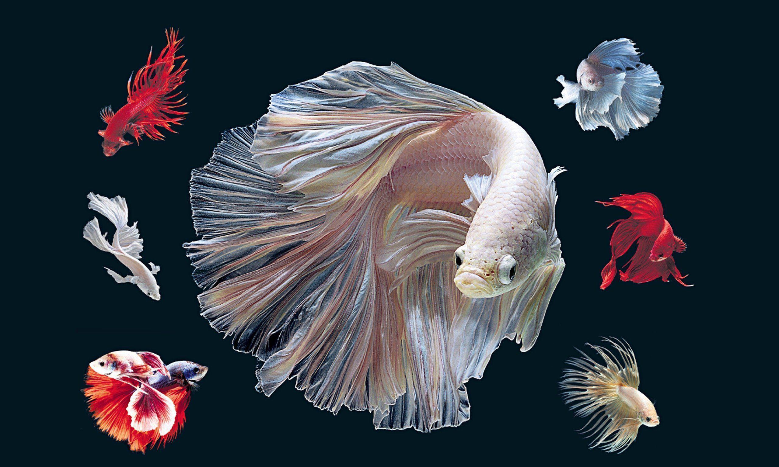 Betta Fish Wallpapers - Wallpaper Cave