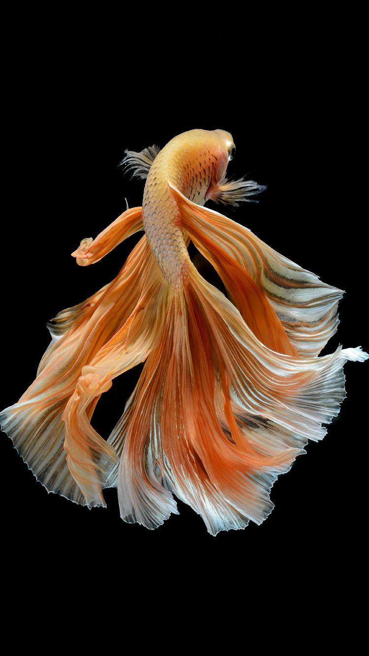 8eaea132f7b Apple iPhone 6s Wallpaper with Elegant Male Gold Betta Fish in .