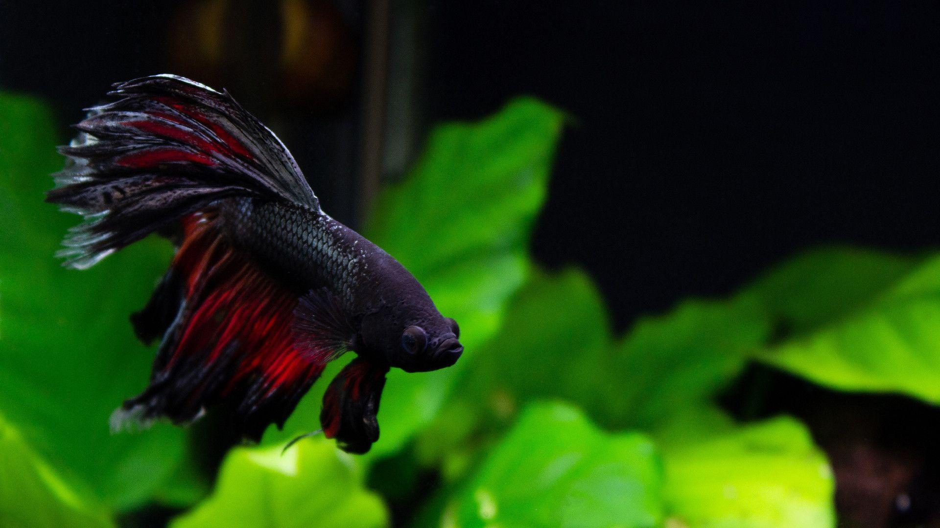 Betta Fish Wallpapers - Wallpaper Cave