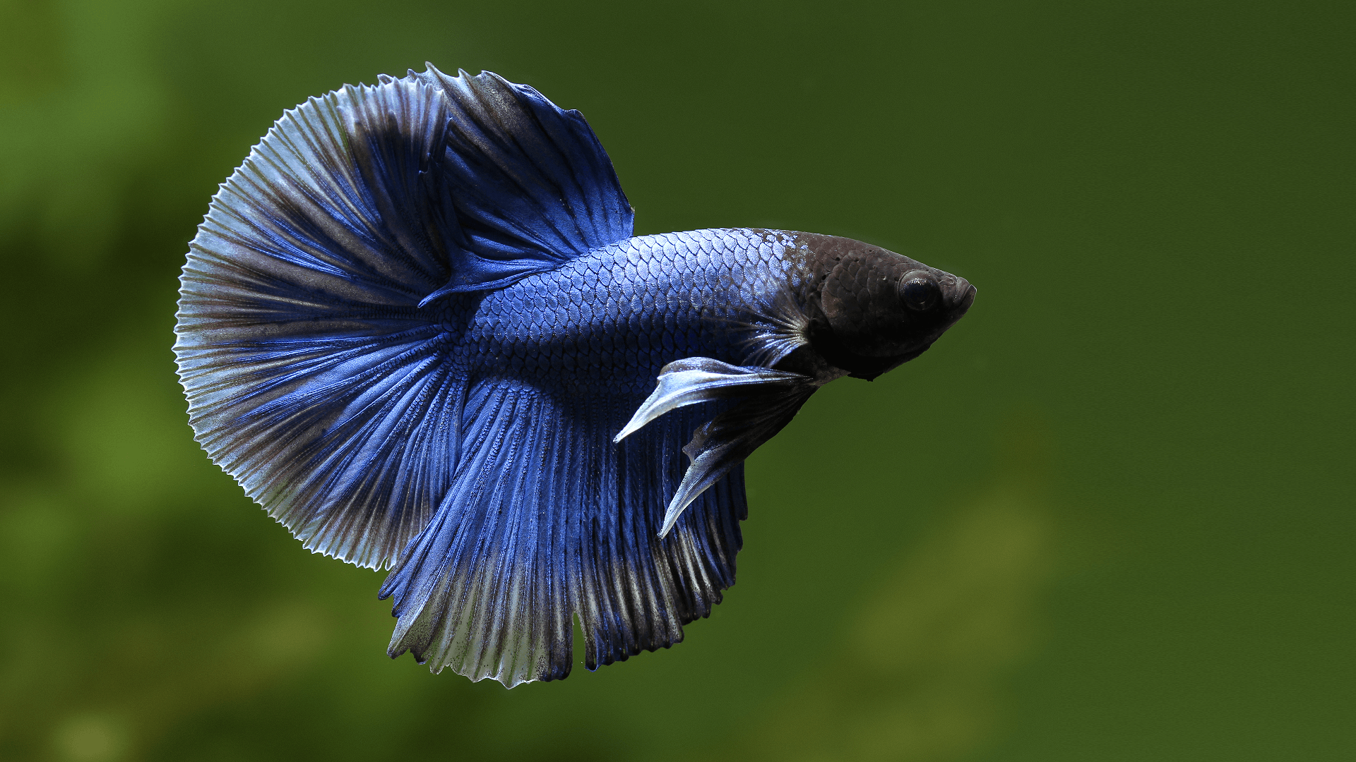 Betta Fish Wallpapers Wallpaper Cave