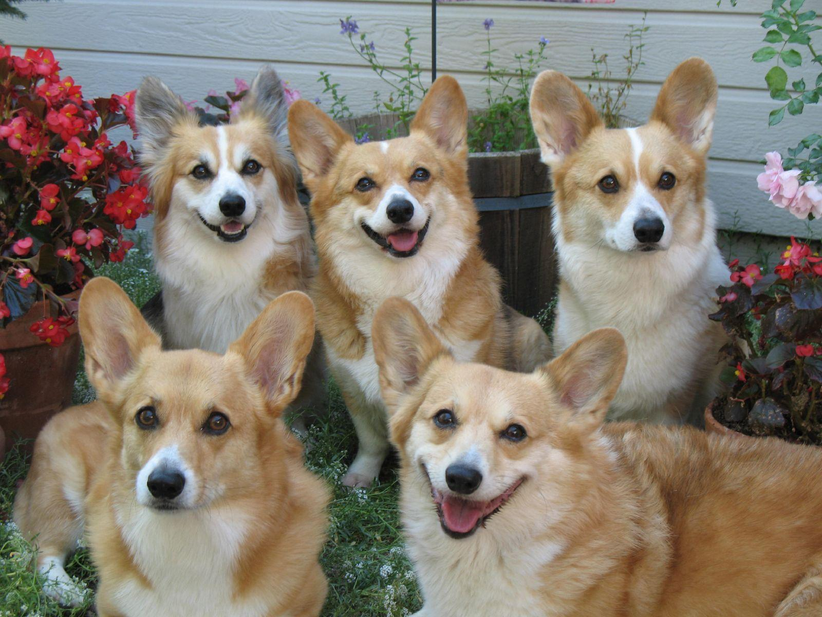 Lovely Corgi Puppies For Sale In United Arab Emirates