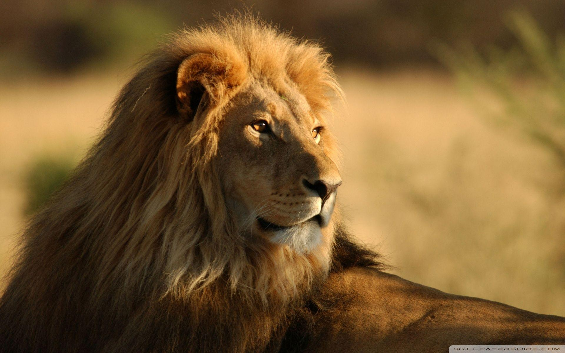 Lion In The Wild HD desktop wallpaper : High Definition ...