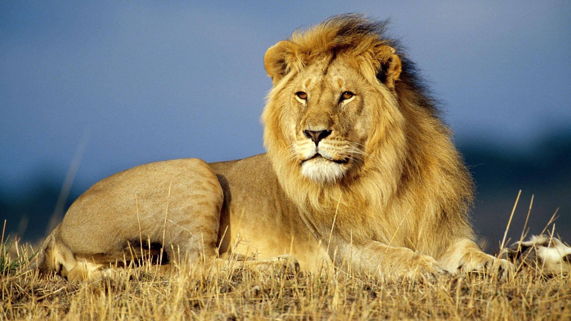 African Lion 1080p HD Wallpaper | Asian Lion | Pinterest | Lion ...