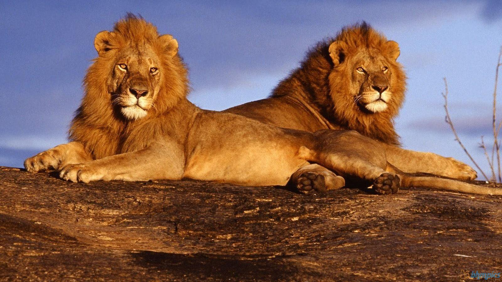 Wild Lion HD Wallpaper - Wallpapers Points