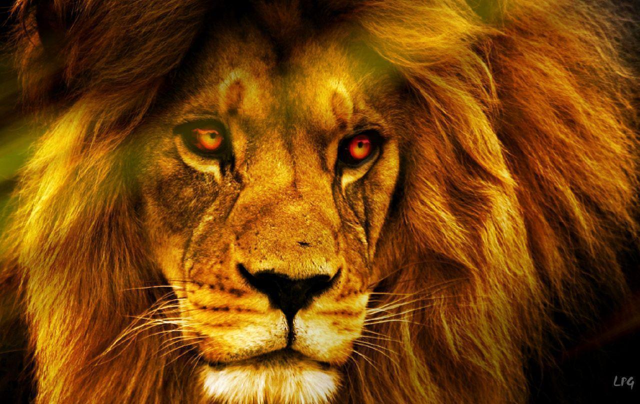 Lion in the wild wallpaper | Wallpaper Wide HD