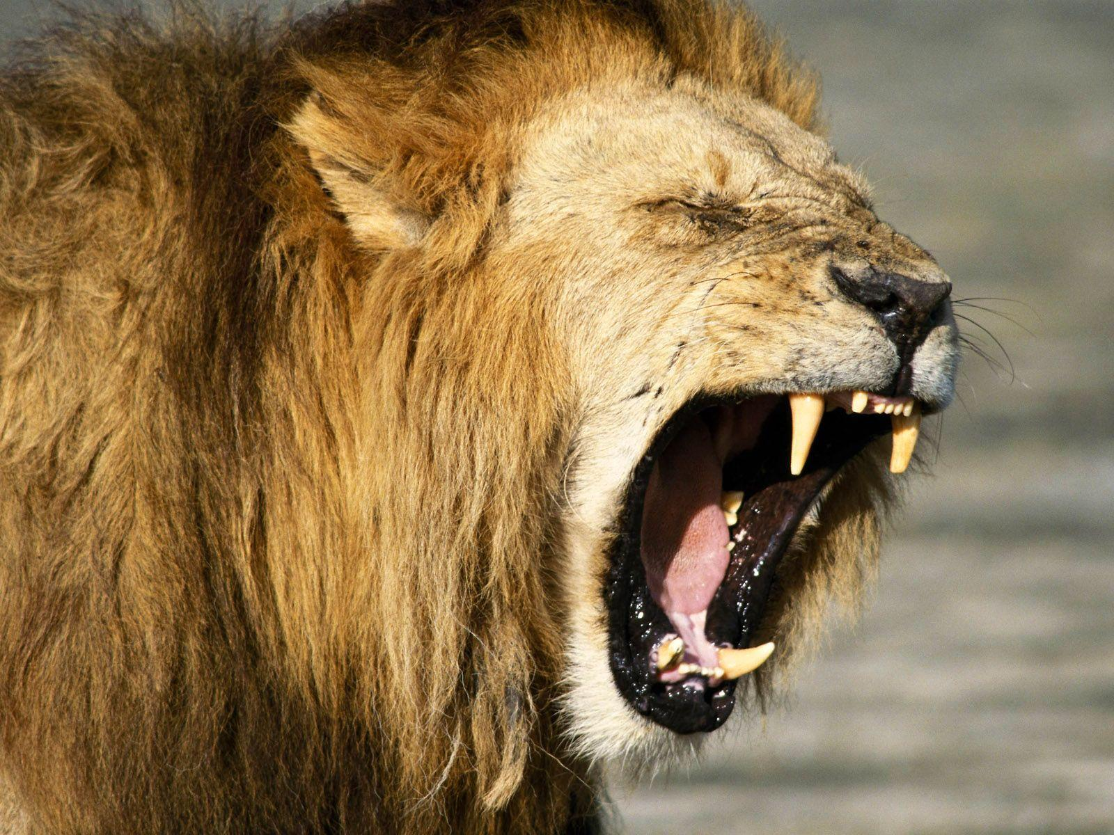 25+ best ideas about Lion wallpaper on Pinterest | Lions in the ...