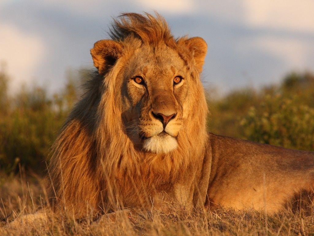 Best Wild Lion Wallpaper HD Wallpaper | Animals of God | Pinterest ...