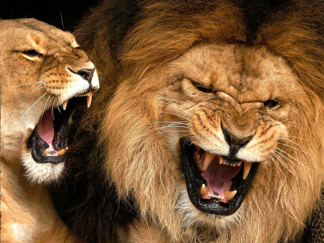 Lions Wallpaper - Wild Lion Animal Wallpaper Gallery