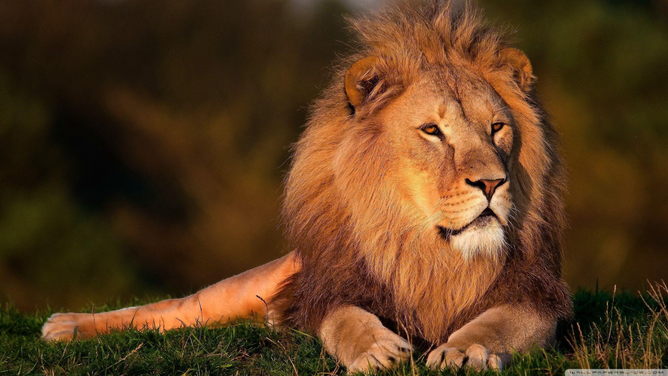 Lion HD desktop wallpaper : High Definition : Fullscreen : Mobile ...