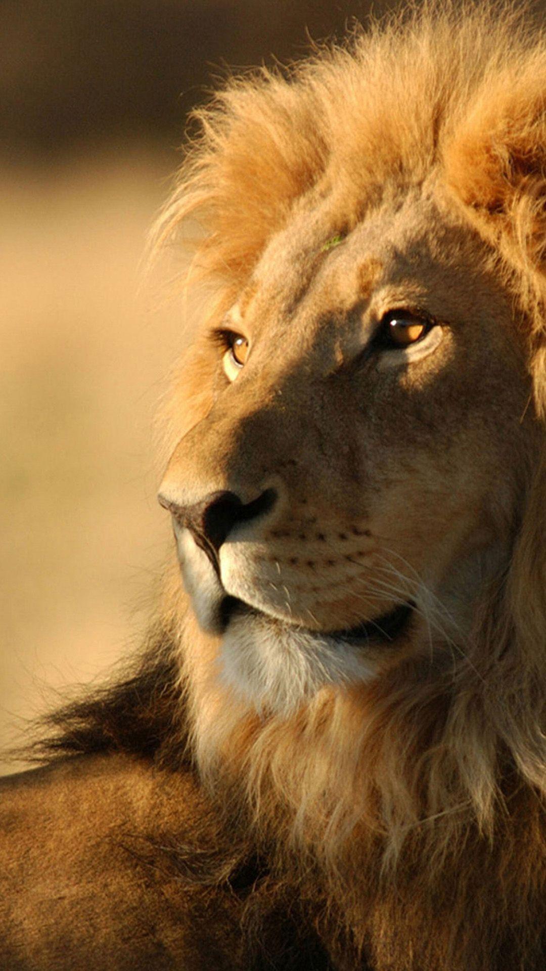 Wild lion Sony Xperia Z2 Wallpapers | Xperia Z2 Wallpaper