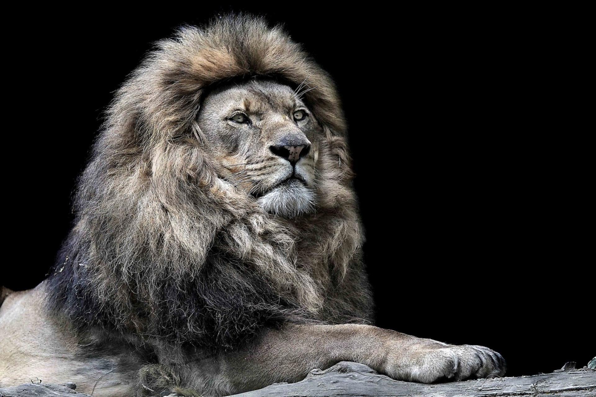 lion wallpapers, desktop wallpaper » GoodWP.com