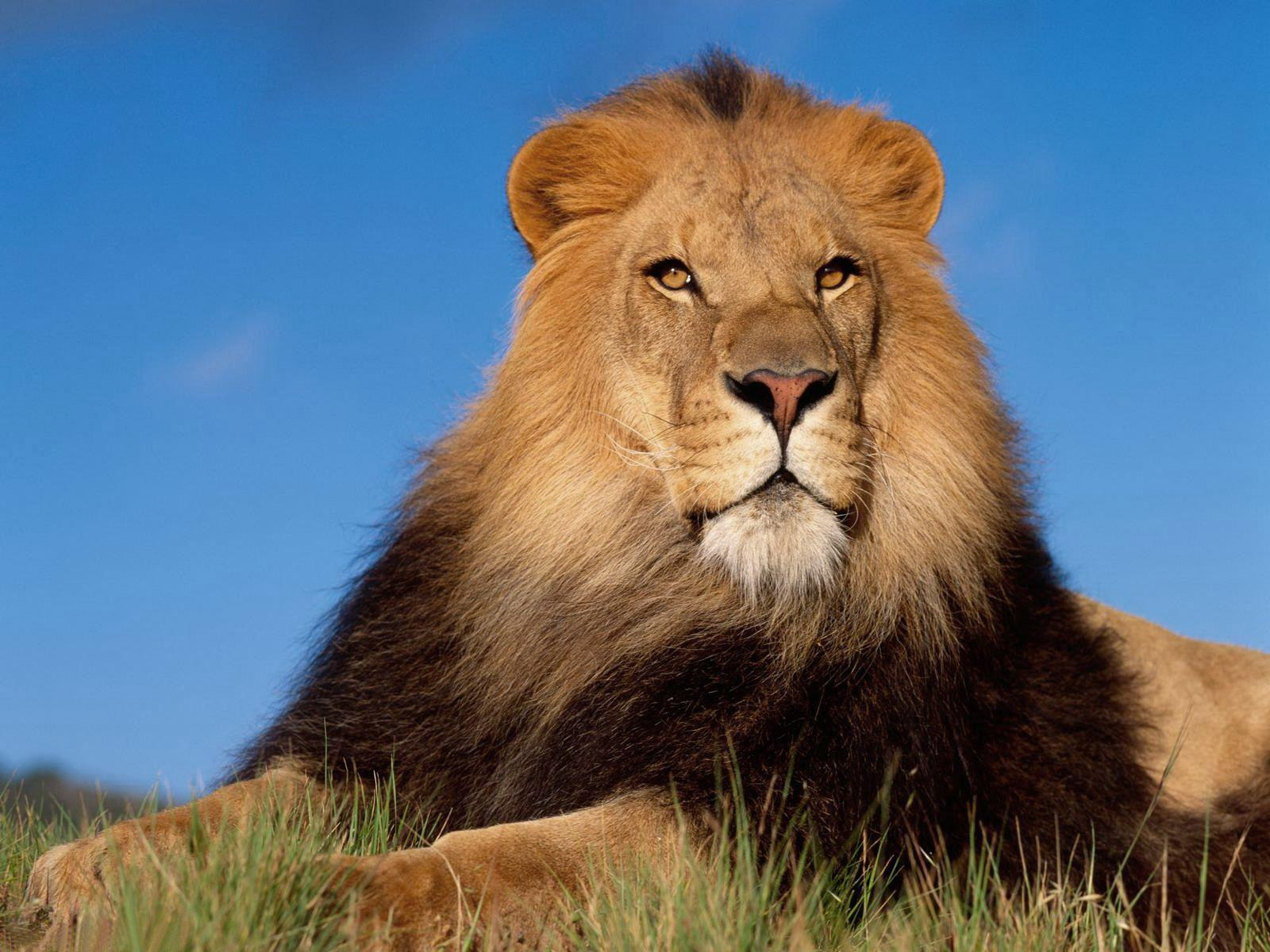 HD Wallpapers Old Lion Animals - Wallpapers Points