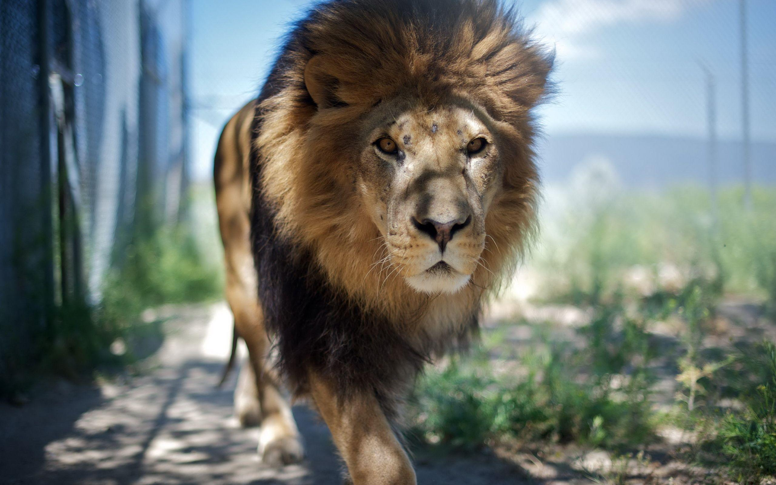 Adult Lion wallpapers and images - wallpapers, pictures, photos