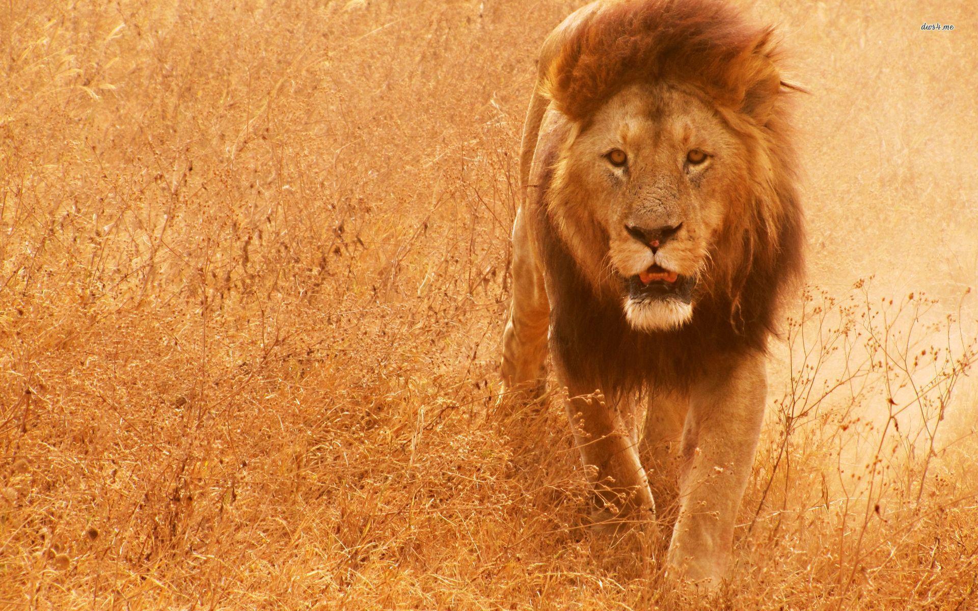 Lion Hd Wallpaper Wild