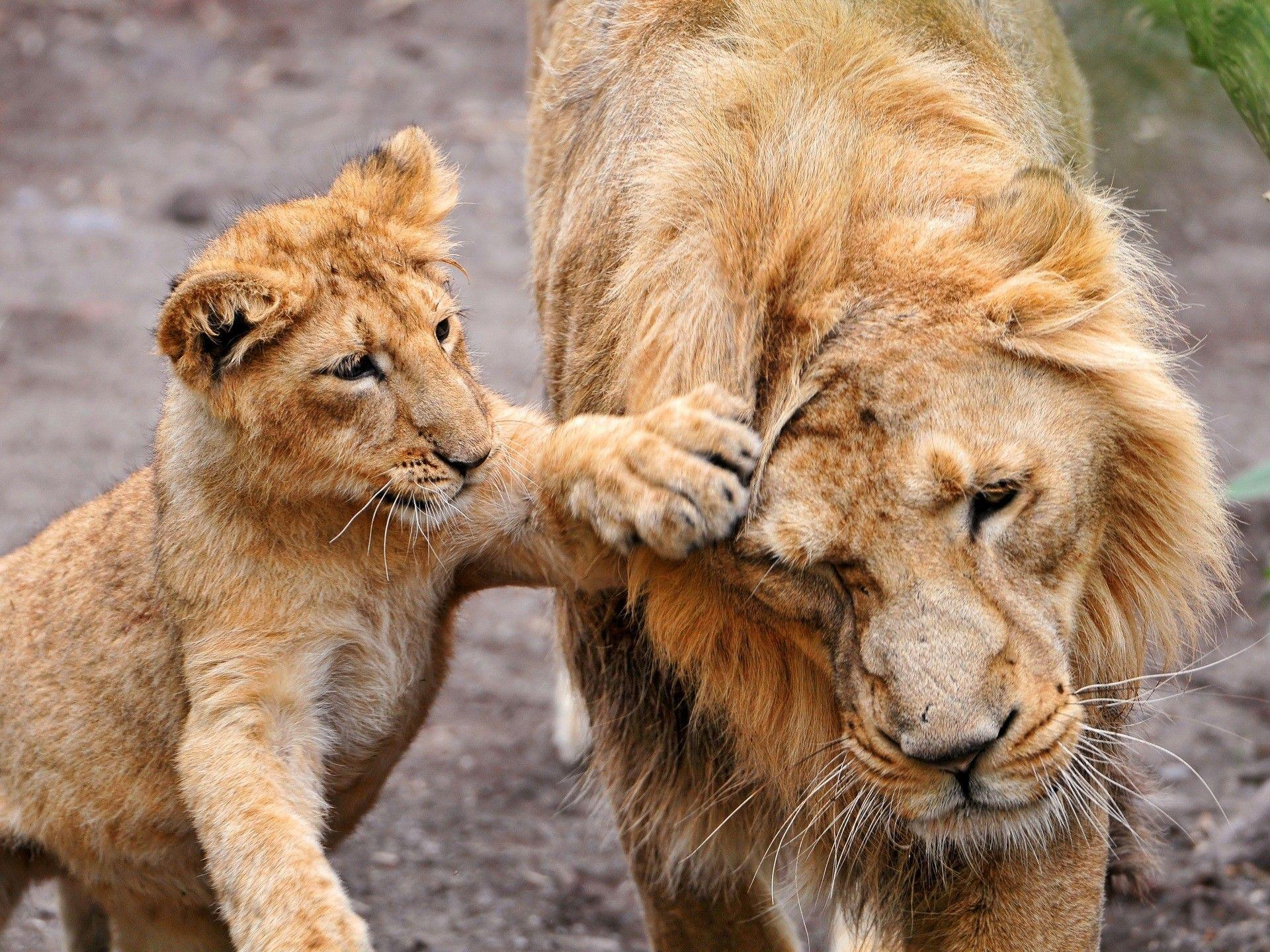 Cute Baby Cub Play with Lion HD Wild Animal Photos | HD Wallpapers