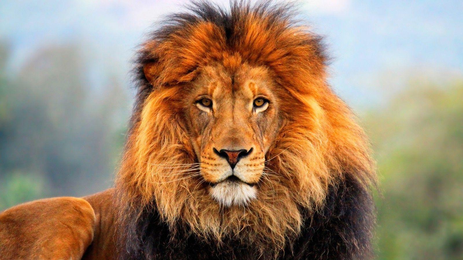 Идей на тему «Lion Wallpaper в Pinterest»: лучших Акуна 1024×768 ...