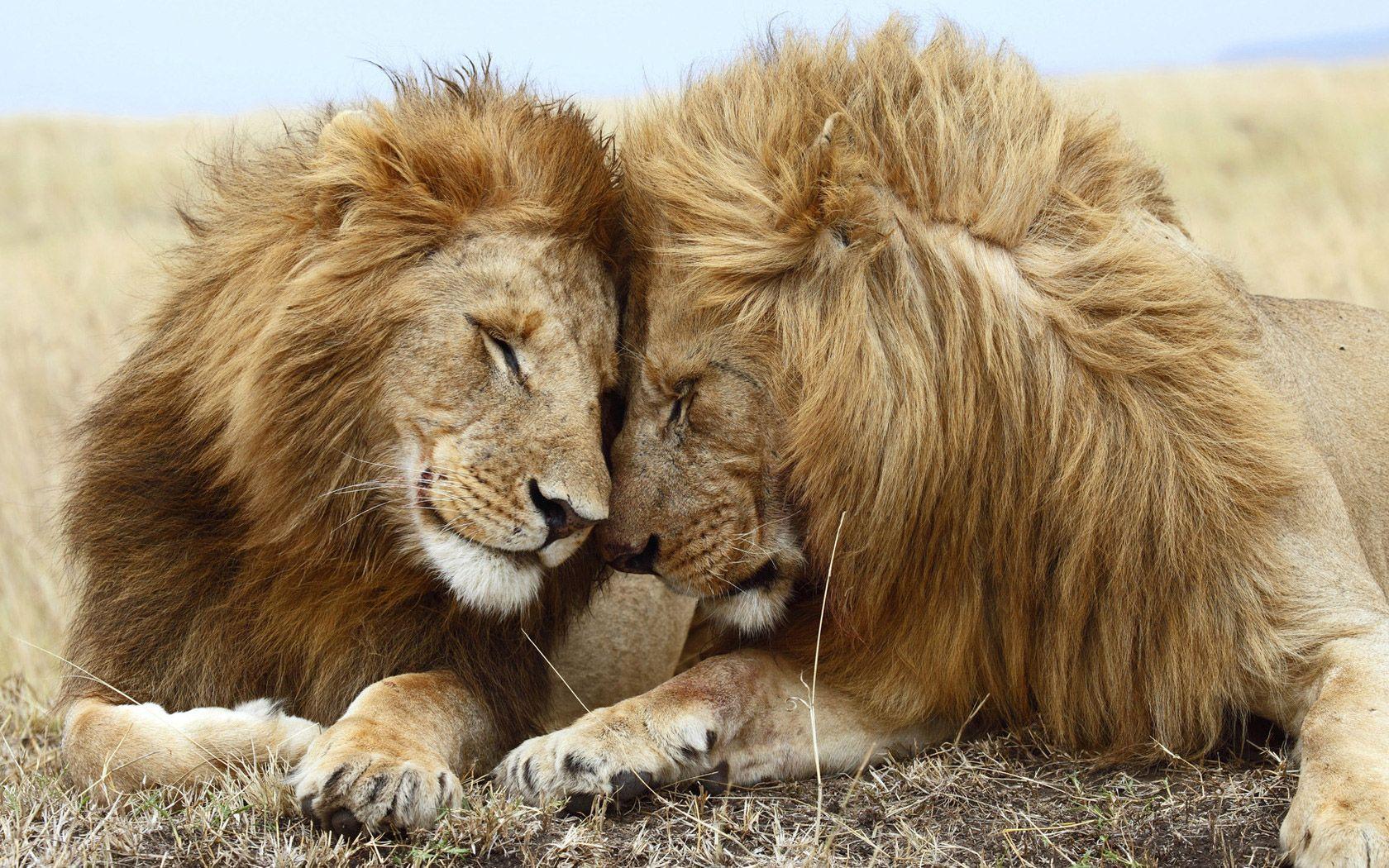 Animal - Lion Wallpaper | Chacha - Autora Anime | Pinterest ...