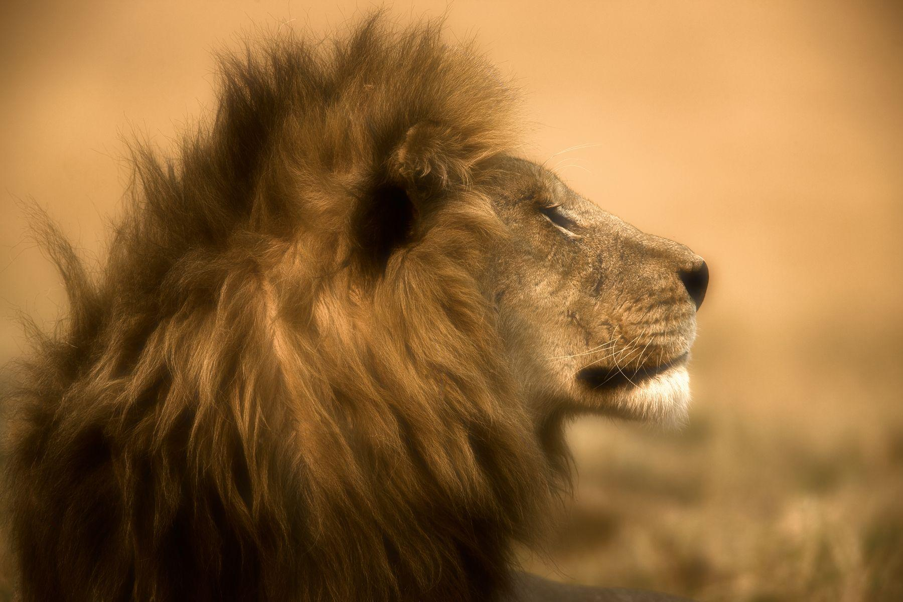 Lion HD Wallpapers | Lion HD Pictures | Free Download – HD ...