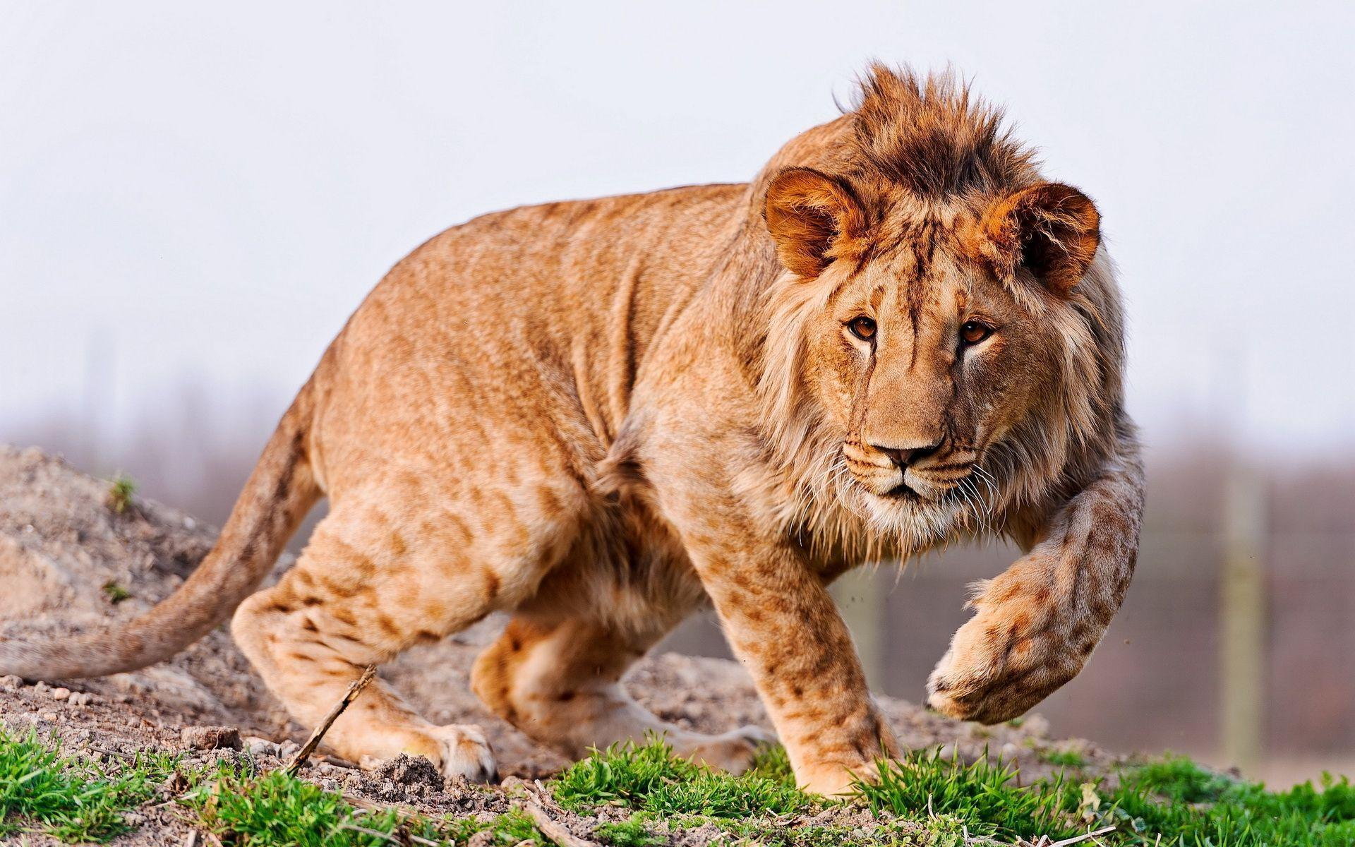 Young lion wallpapers and images - wallpapers, pictures, photos