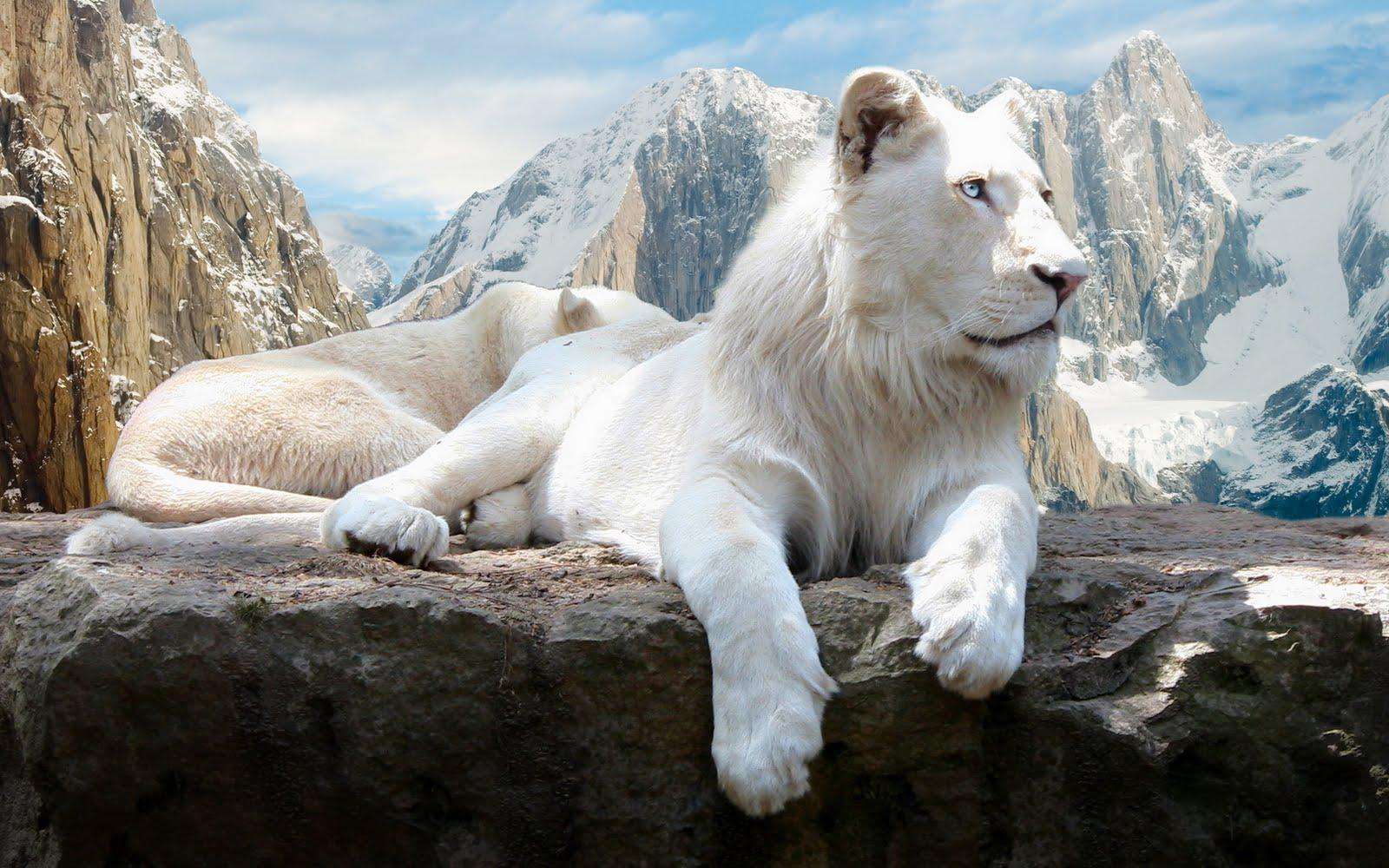 According to the legend of the Shangaan, white lions are the ...