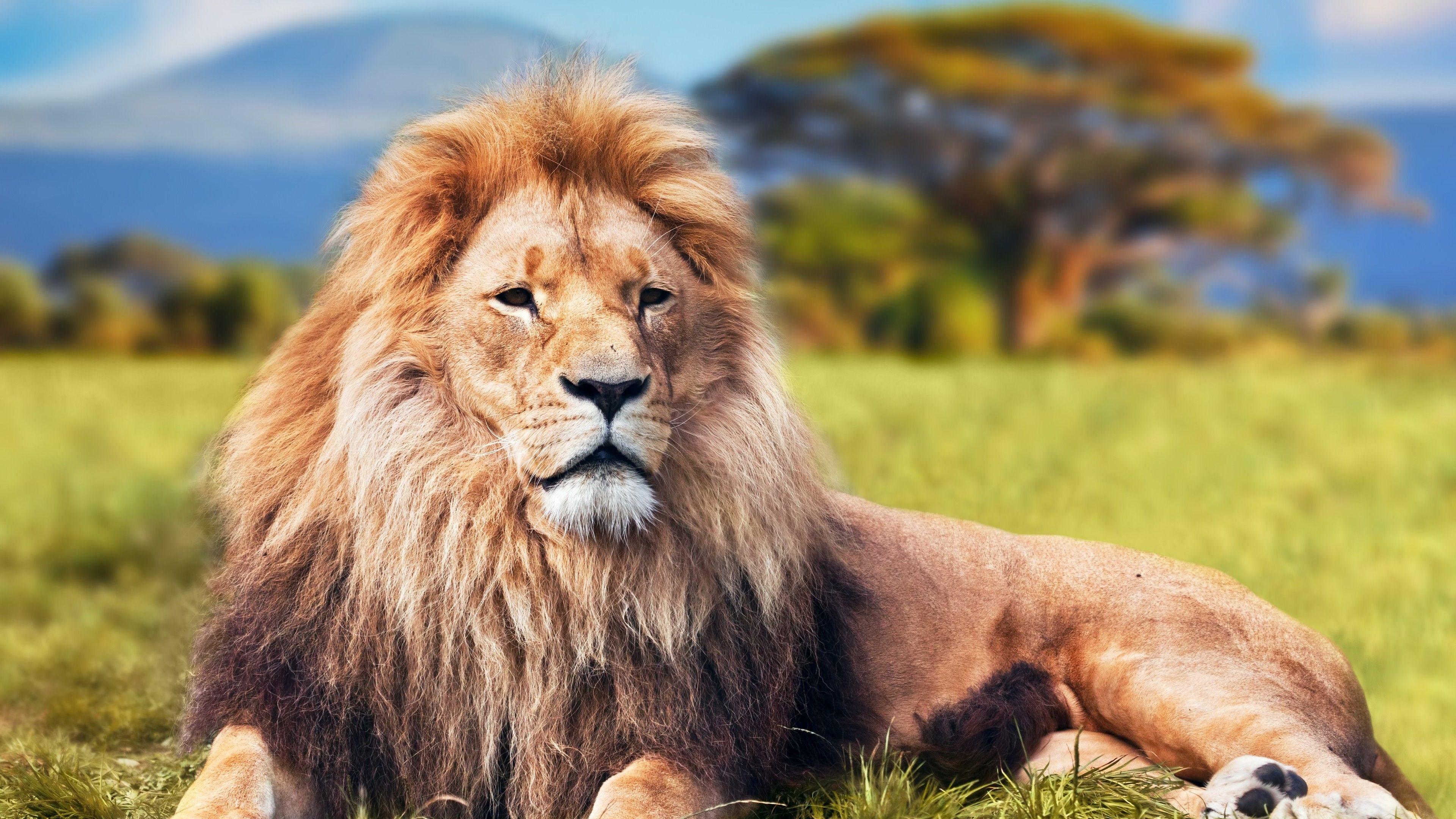 Lion 4k | Animals HD 4k Wallpapers