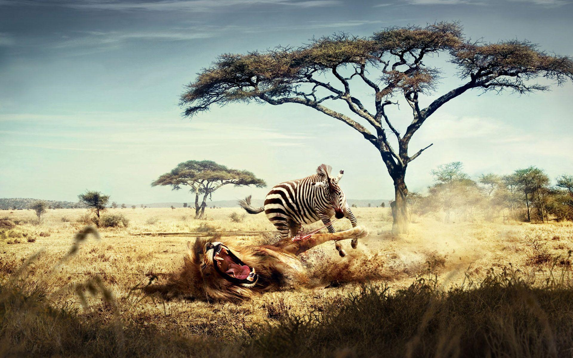 Wild Lion Zebra Chase Wallpapers | HD Wallpapers