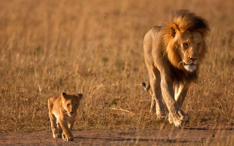 Wild Lion Latest Desktop HD Wallpapers | HD Wallapers for Free
