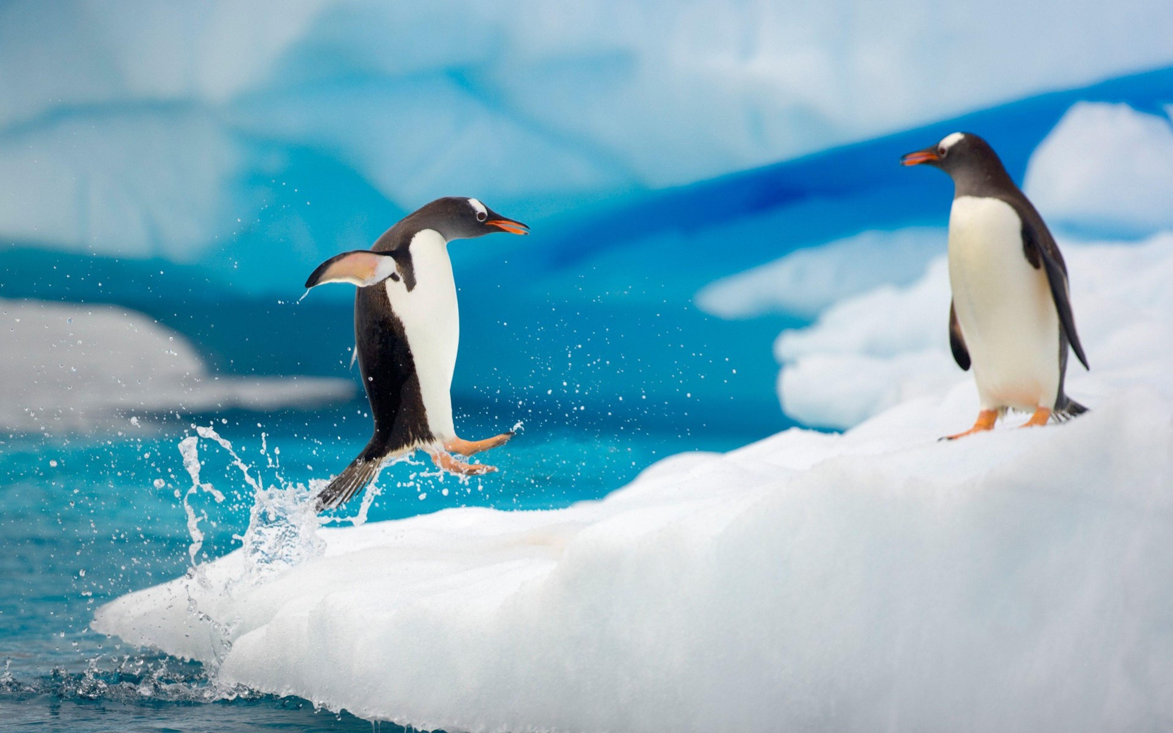 Penguin Couple Snow Ice Arctic Jump Antarctica Fun Wallpaper ...