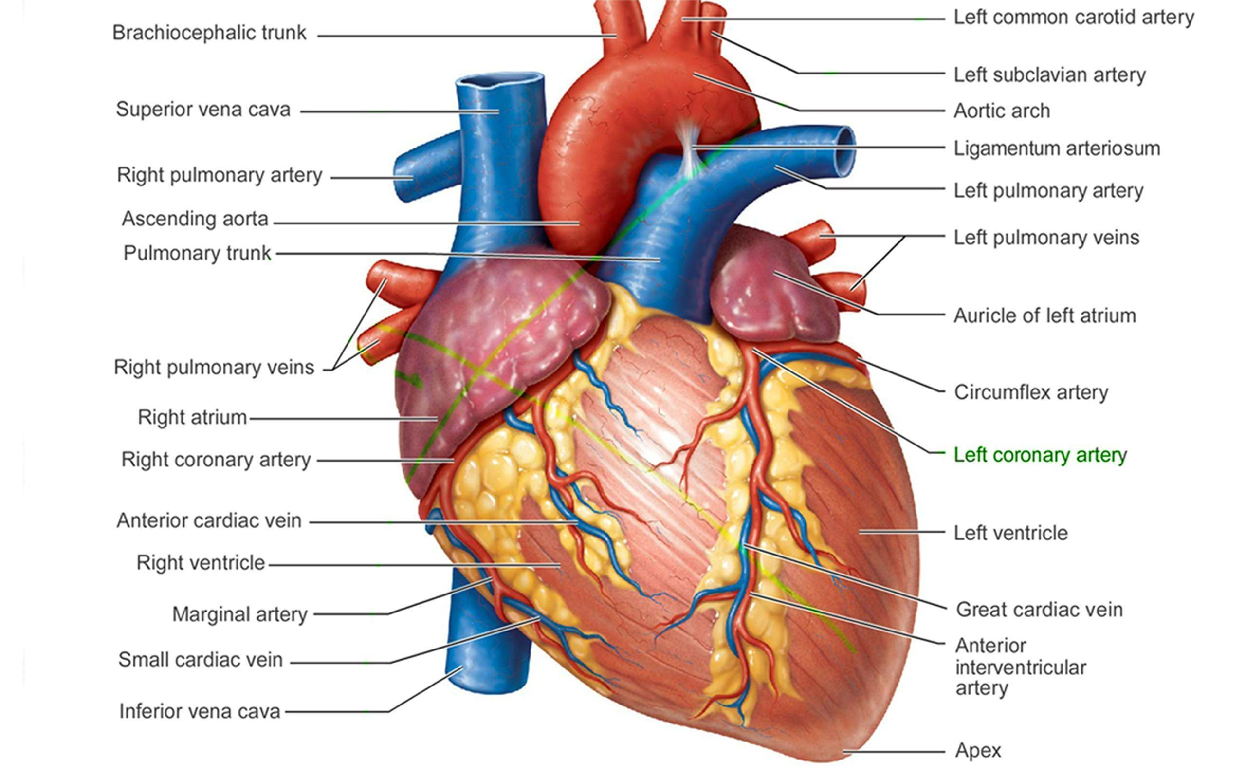 Pictures Of Human Heart Anatomy Anatomy Of The Human Heart 4k ...