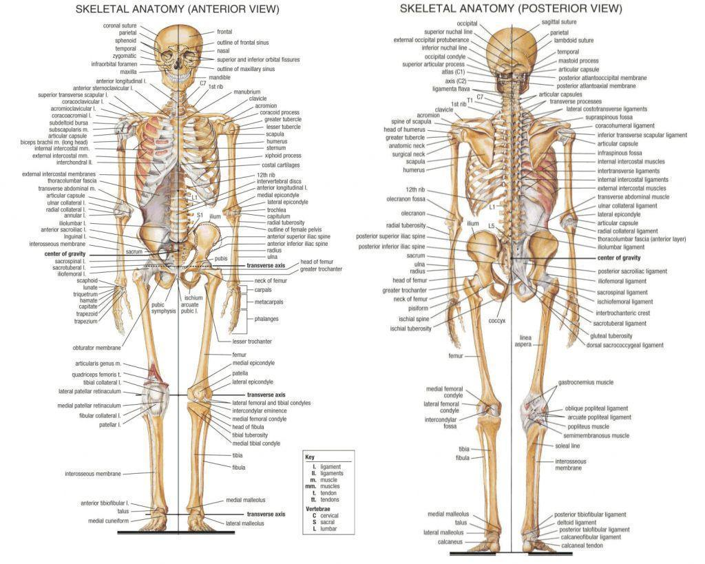 Human Body Bones Hd Wallpapers - HUMAN ANATOMY LESSON