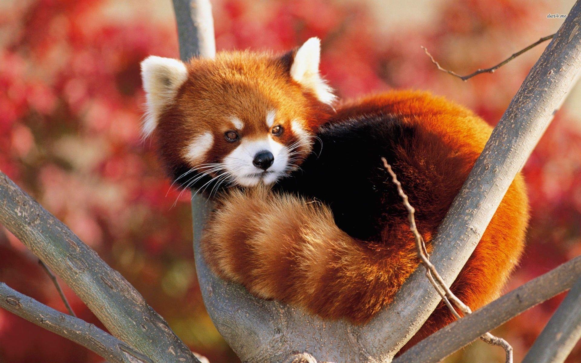 Red Pandas Wallpapers Wallpaper Cave