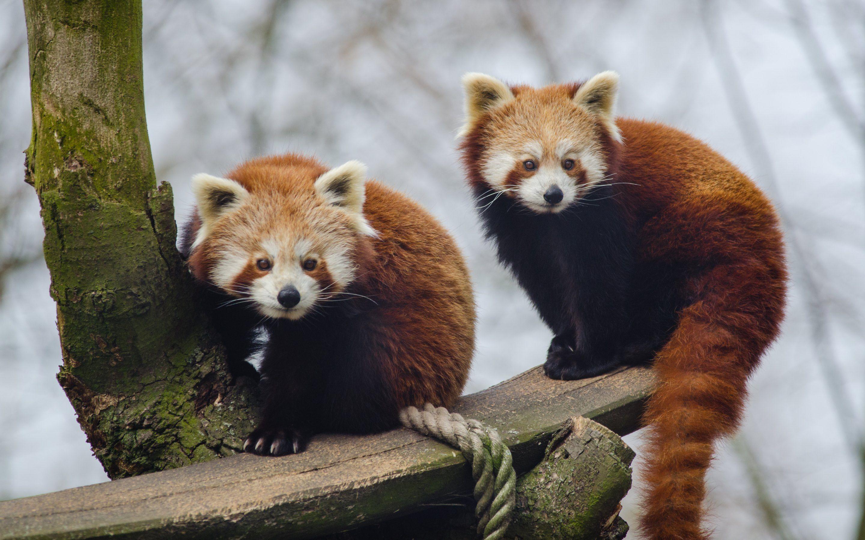 Red Pandas Wallpapers - Wallpaper Cave