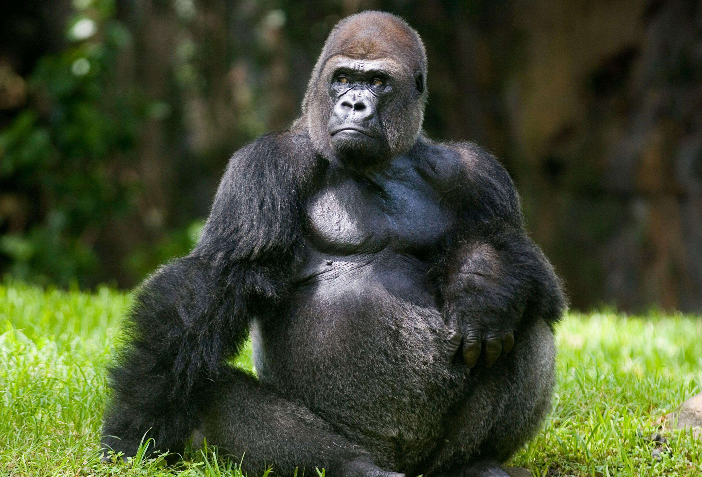Silverback gorilla wallpaper