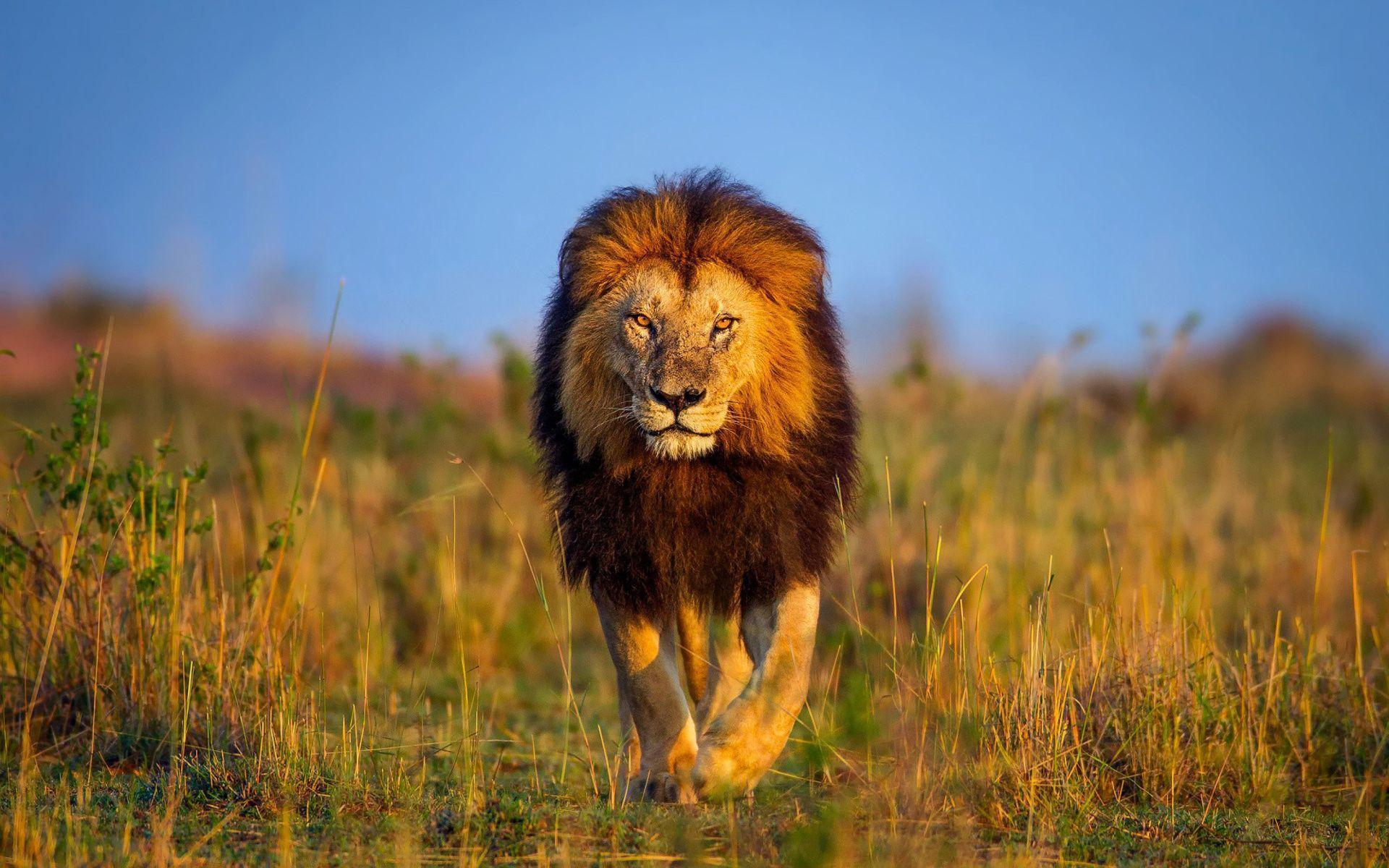 Lion Animal Wallpapers Wallpaper Cave Images, Photos, Reviews