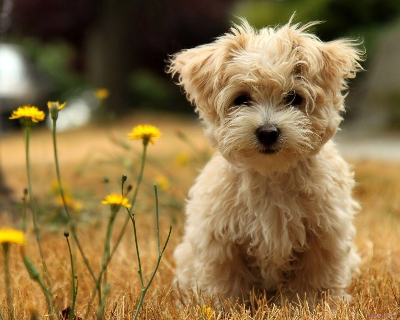 maltese poodle pics | ... maltese, mother is a very pets ...